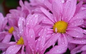Картинка цветок, фиолетовый, капли, желтый, сад, flower, yellow, garden, drops, purple