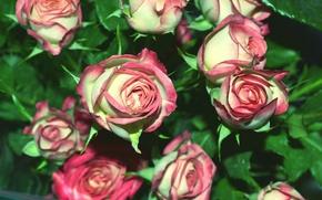 Обои розовые, розы, мелкие, букет картинки на рабочий стол, раздел цветы...