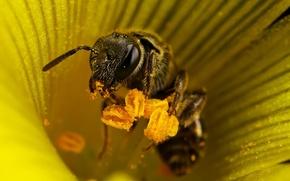 Обои тычинки, 155, пчела, цветок