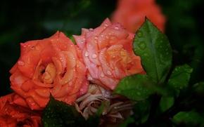 Картинка капли, розы, оранжевые, Rose, orange, drops