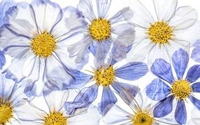 Картинка цветы, краски, лепестки, космея