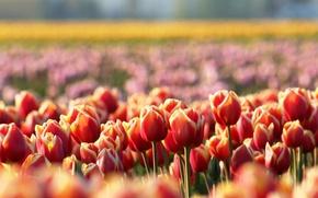 Картинка цветы, поляна, весна, размытость, тюльпаны, красные