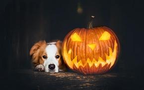 Картинка праздник, собака, тыква