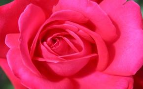 Картинка цветок, макро, розовый, праздник, роза