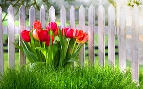 Обои цветы, spring, fence, тюльпаны, забор, grass, трава, nature, весна