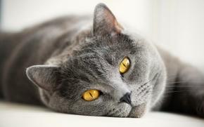 Картинка кошка, глаза, кот, усы, взгляд, морда, серый, желтые, британский, британец