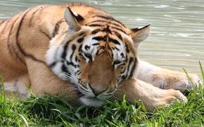 Картинка кошка, тигр, вода, отдых, трава, морда, амурский тигр