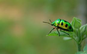 Картинка макро, жук, насекомое, green beetle