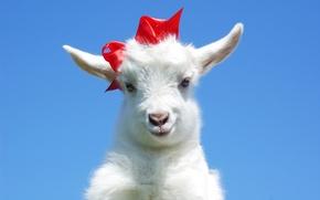 Картинка бант, коза, козёл, козлёнок