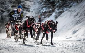Обои спорт, собаки, гонка