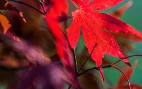 Обои осень, природа, лист, клен, багрянец