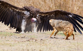 Обои wings, predator, defense, feathers, fox, vulture