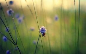Картинка макро, цветы, пчела, стебли, полевые, сиреневые