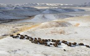 Картинка зима, снег, стадо, бизоны