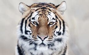 Картинка animals, nature, tiger, eyes, cool, wild