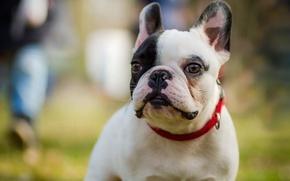 Картинка взгляд, собака, мордочка, бульдог, Французский бульдог