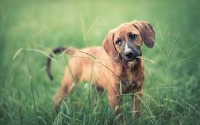 Картинка взгляд, друг, собака, уши, травинка