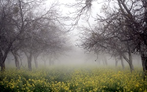 Обои деревья, природа, туман, рапс