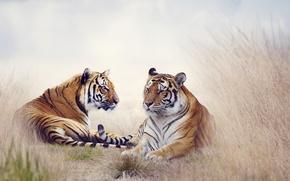 Картинка трава, хищники, тигры, лежат, боке, отдыхают