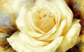 Картинка рисунок, роза, Цветы