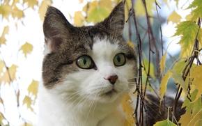 Картинка кошка, взгляд, листья, кот