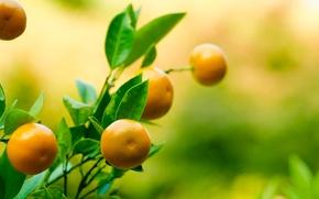 Картинка листья, ветка, фрукт, мандарин, tangerine, танджерин