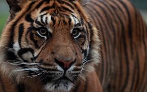 Обои взгляд, морда, тигр, суматранский