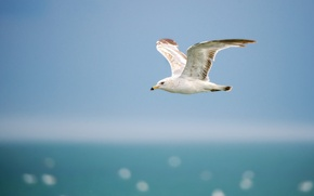 Картинка море, небо, полет, крылья, Чайка, горизонт