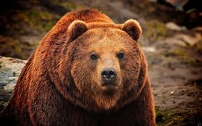 Картинка взгляд, морда, шерсть, медведь, мех, бурый