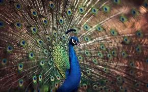 Картинка хвост, павлин, птица