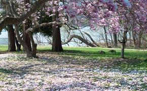 Картинка парк, Природа, весна, лепестки, цветение, trees, nature, spring, cherry blossoms, flowering