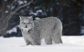 Картинка зима, снег, рысь