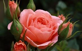 Картинка макро, бутоны, роза