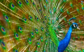 Картинка Colorful, Peacock, Bird