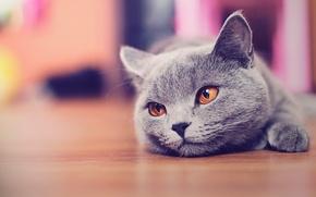 Обои кошка, пол, котэ, морда, смотрит, кот
