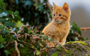 Обои рыжий котёнок, рыжий, котёнок
