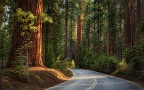 Картинка дорога, лес, деревья, природа, хвоя, сиквои