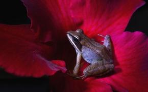 Картинка цветок, макро, лягушка