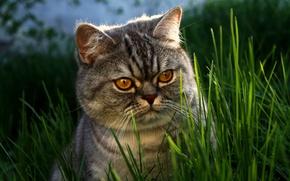 Обои британец, трава, морда, глаза, кот