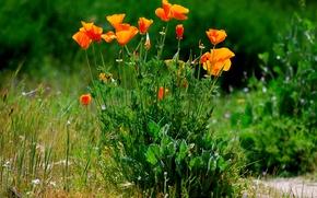 Картинка трава, цветы, растение, маки, кусты