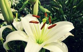 Обои цветок, макро, лилия, белая