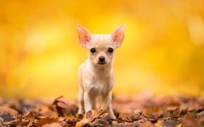 Картинка осень, взгляд, листья, собака, чихуахуа, пёсик, собачонка