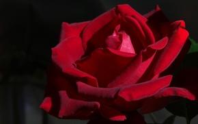 Картинка роза, бархатная, Бордовая