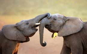 Картинка слоны, хобот, слонята