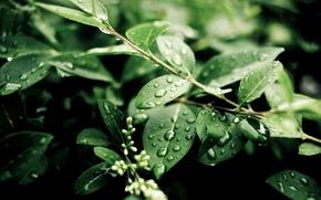 Картинка зелень, листья, капли, свежесть
