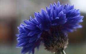 Картинка цветок, макро, синий, фокус, Василек