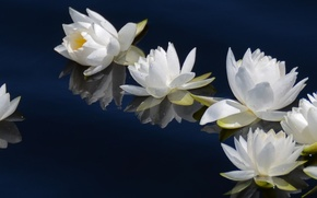 Картинка вода, лилии, white, белые, flower, dual, multi, screen, monitor, fleur, multiple, 3840x1080, blanche