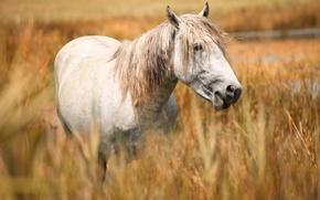 Картинка поле, морда, конь, лошадь, портрет, белая, злаки, пасется, обои от lolita777