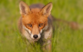 Обои размытие, лиса, Red Fox