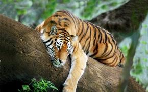 Картинка тигр, дерево, отдых